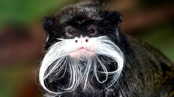 monkey_stache